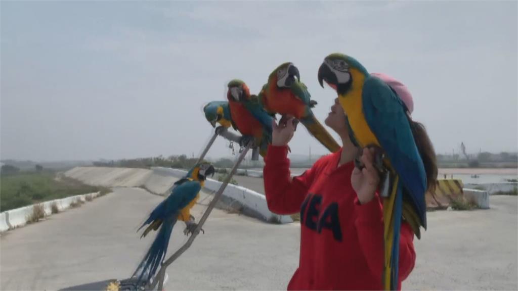 斗南街頭現「遛鳥俠」 9隻鸚鵡排排站機車 警方也來關切...「加裝車架」恐觸法