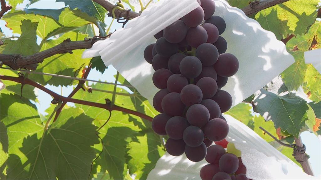 疫情期間盤商不到產地來 果農求生存「視訊賣葡萄」
