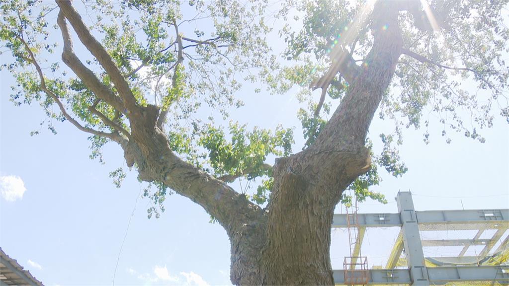 北市府放任? 劉俠故居42年老樹遭施工破壞