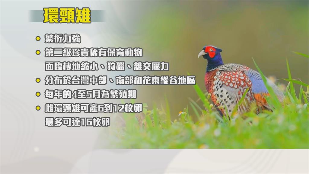 難得生態紀錄 !台東鳥友捕捉到保育「環頸雉」全家福