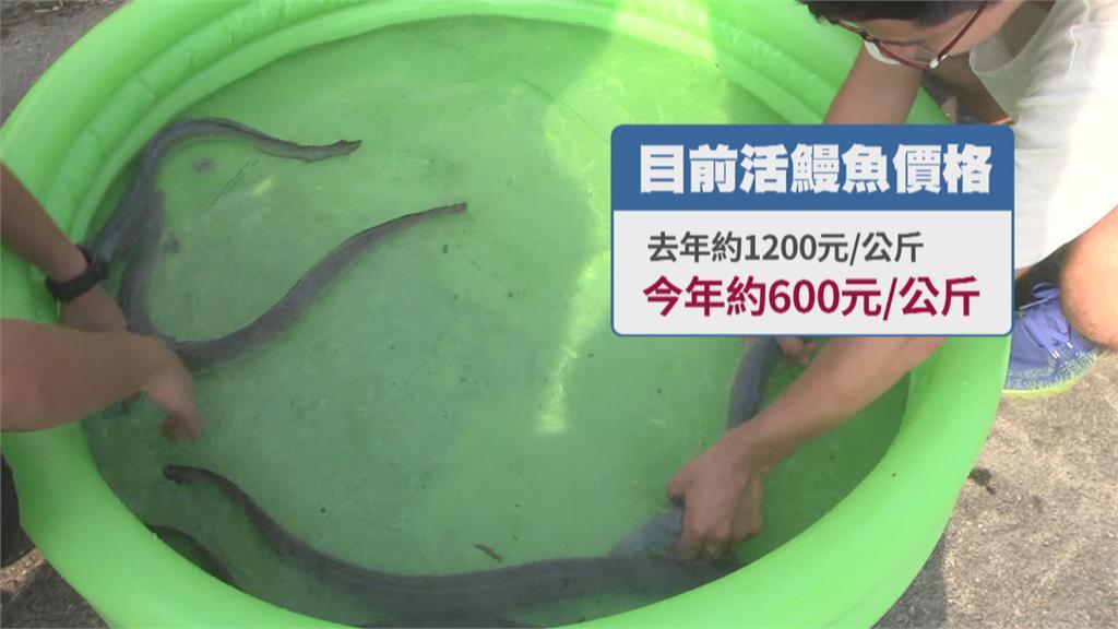 疫情衝擊外銷降! 國產鰻魚轉內銷1公斤剩600元