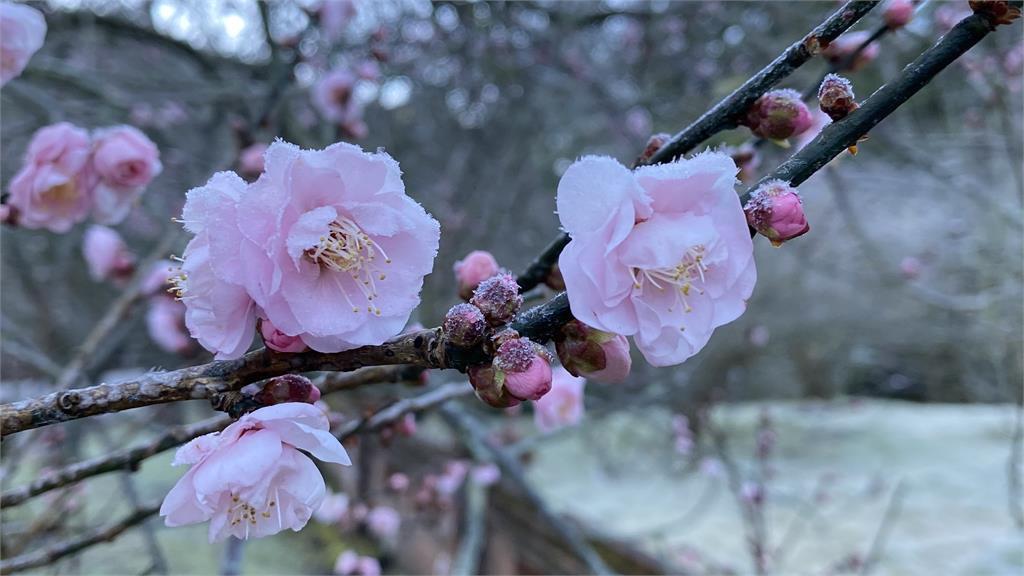 快新聞/超美! 武陵農場清晨-4.3°C仙氣大爆發 園區「撒糖霜」宛如仙境