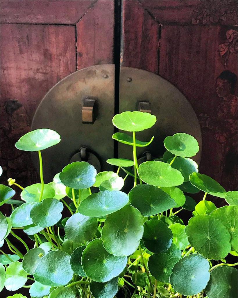 鏡面草、荷葉椒草傻傻分不清楚?盤點4組常搞錯的觀葉植物