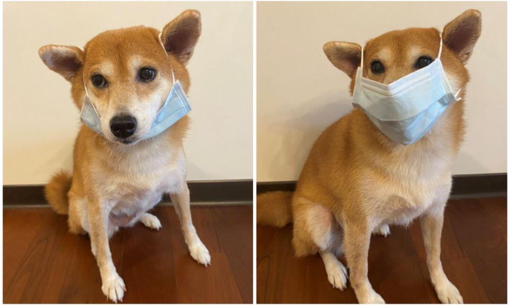 飼主注意!不要替毛孩噴酒精戴口罩 獸醫:毒性會致死、熱衰竭