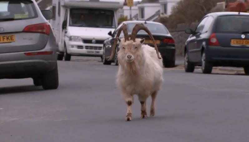 疫情封鎖沒人管 英威爾斯小鎮山羊瘋長逛大街
