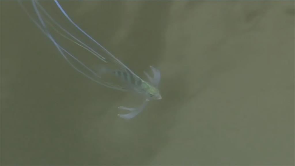 海中的藝術體操選手!絲鰺幼魚長長魚鰭宛如彩帶