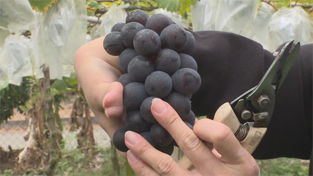 紫晶葡萄青農 桌球常勝軍征戰國際
