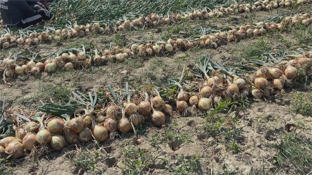 嚴重乾旱農損逼近5億 屏東芒果最慘