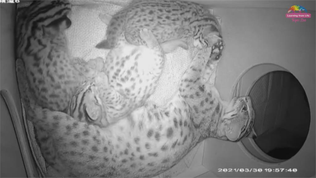 大眼萌樣超Q 北市動物園「石虎三寶」滿月了!