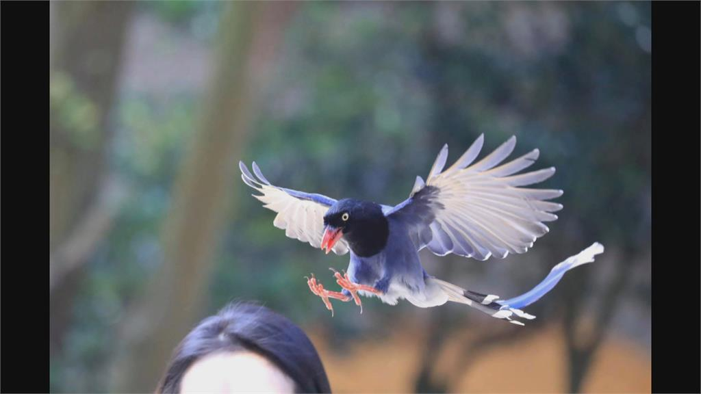 藍鵲護雛 路過小心空襲! 文大生狂被「巴頭」 教授拍下精彩瞬間
