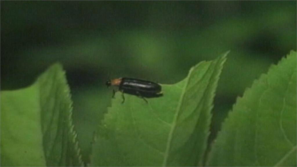 少雨乾旱螢火蟲量變少 最佳觀賞期恐延後