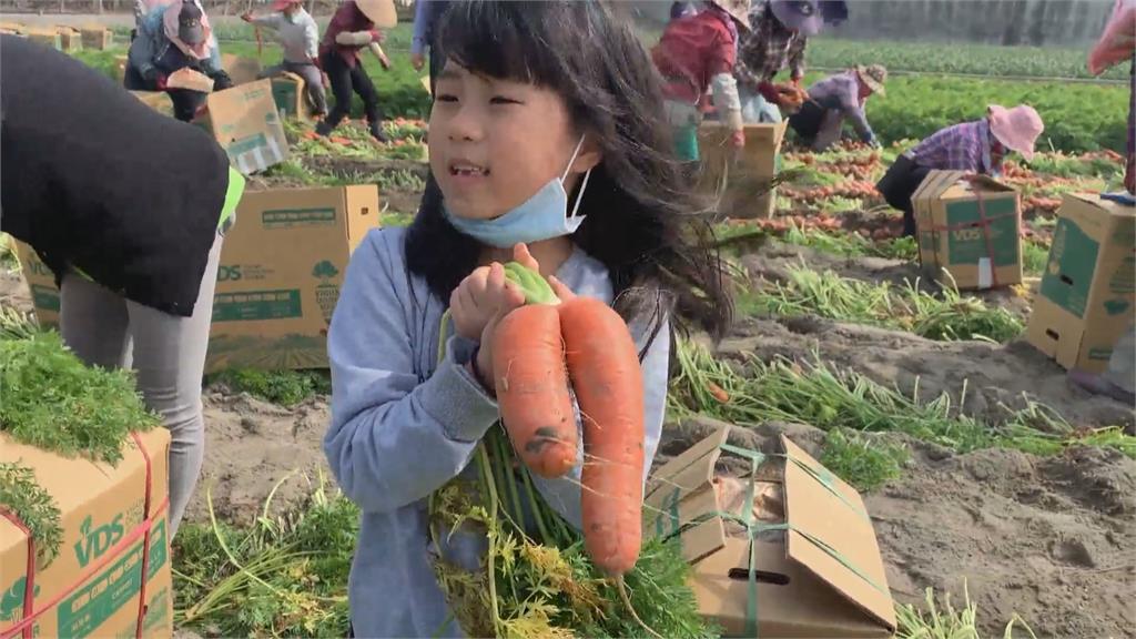 雲林東勢彩色蘿蔔超驚奇!小朋友體驗拔胡蘿蔔