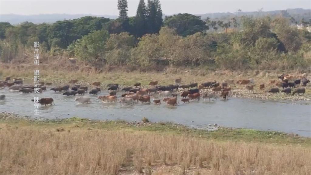 放養牛群需先申請 中彰非洲草原「牛群過溪」恐成絕響