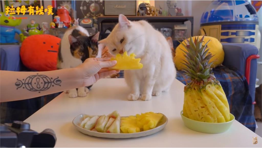 挺台灣鳳梨貓咪吃起來!甜啃呼嚕聲超療癒全網融化:太可愛了
