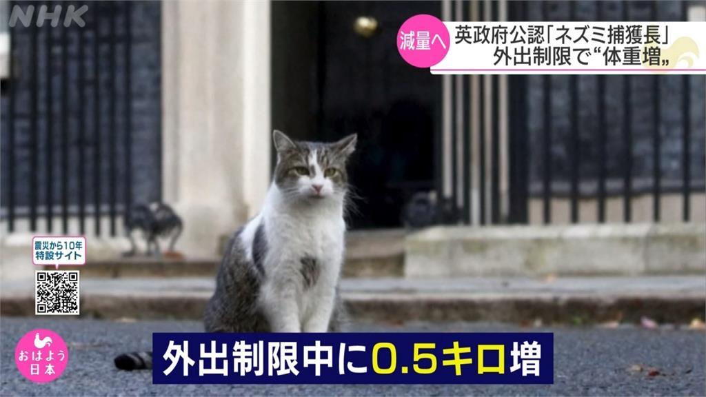 疫情封城多吃少運動 英首席捕鼠官賴瑞變肥貓