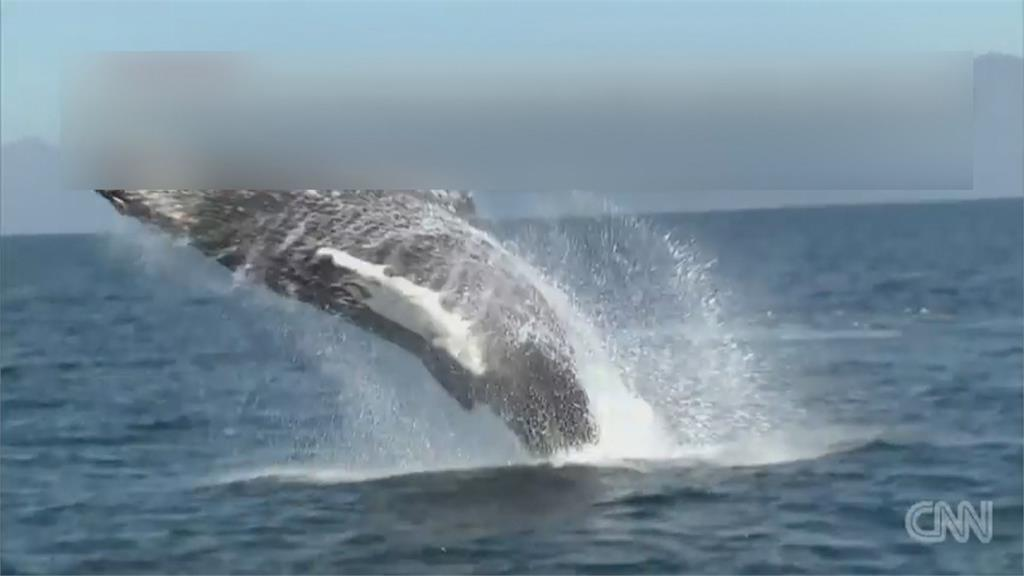險!美國漁民下海捕蝦被鯨魚誤吞口中又吐出