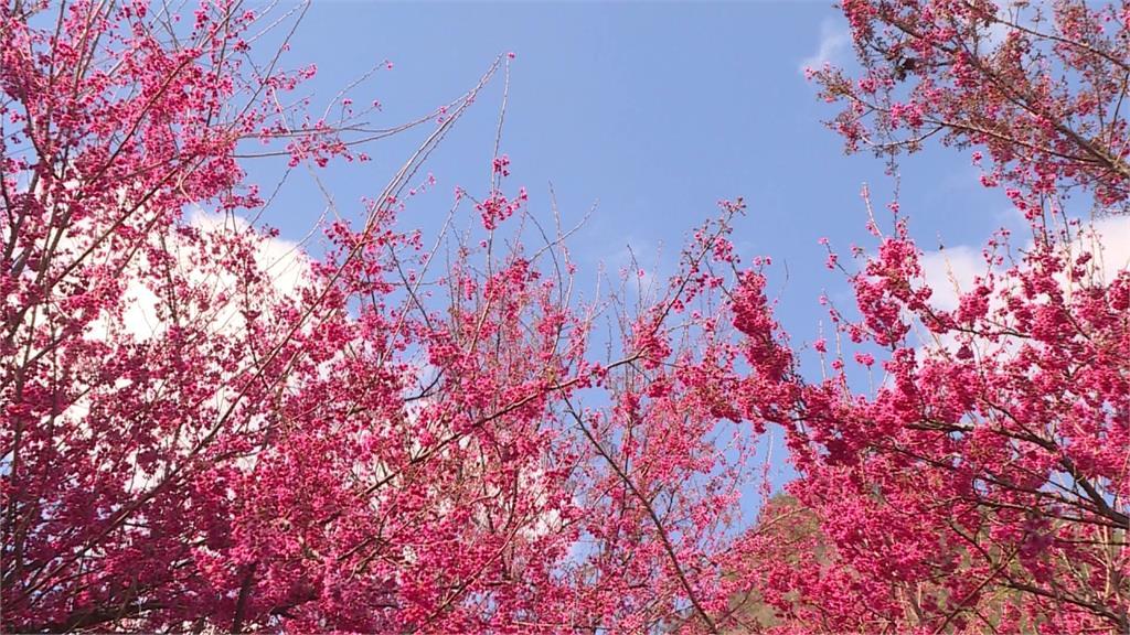 春節必拍打卡勝地!奧萬大山櫻花大爆發 八重櫻、霧社櫻將接力綻放