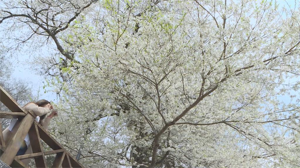 花瓣紛飛宛如3月雪!霧社櫻最美花況剩一週
