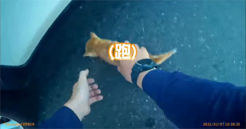 喵一聲遭誘捕!員警捧起路中小橘貓 40秒影片融化全網