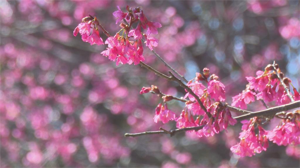 苗栗秘境染上整片粉紅!協雲宮山櫻花爆炸盛開