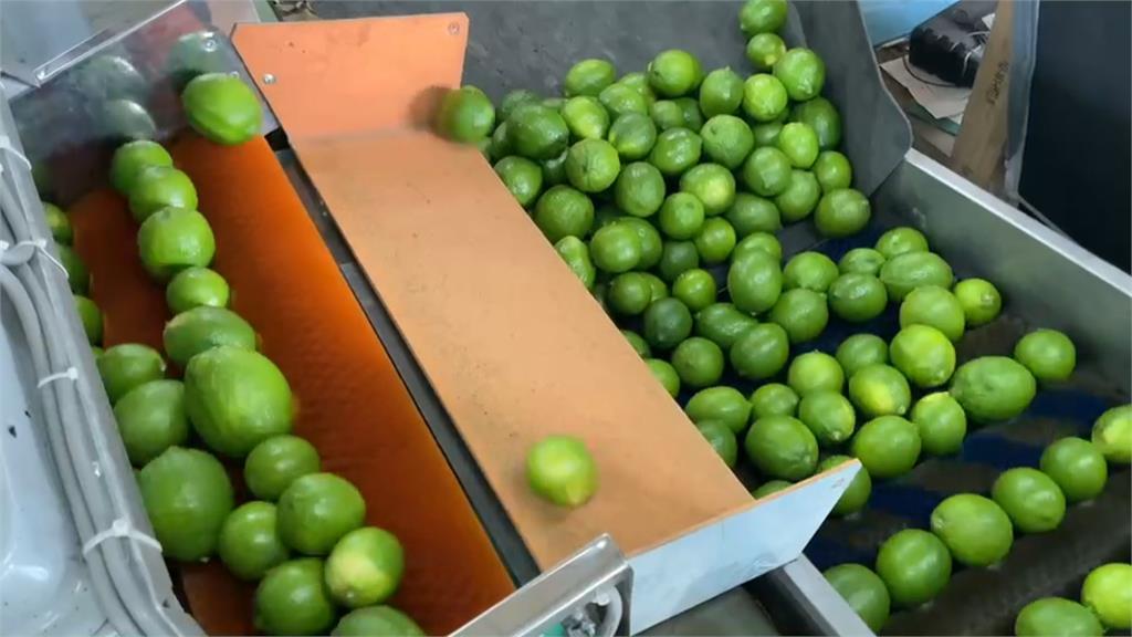 要渴壞了! 檸檬縮水嚴重 收成大多僅「B級品」