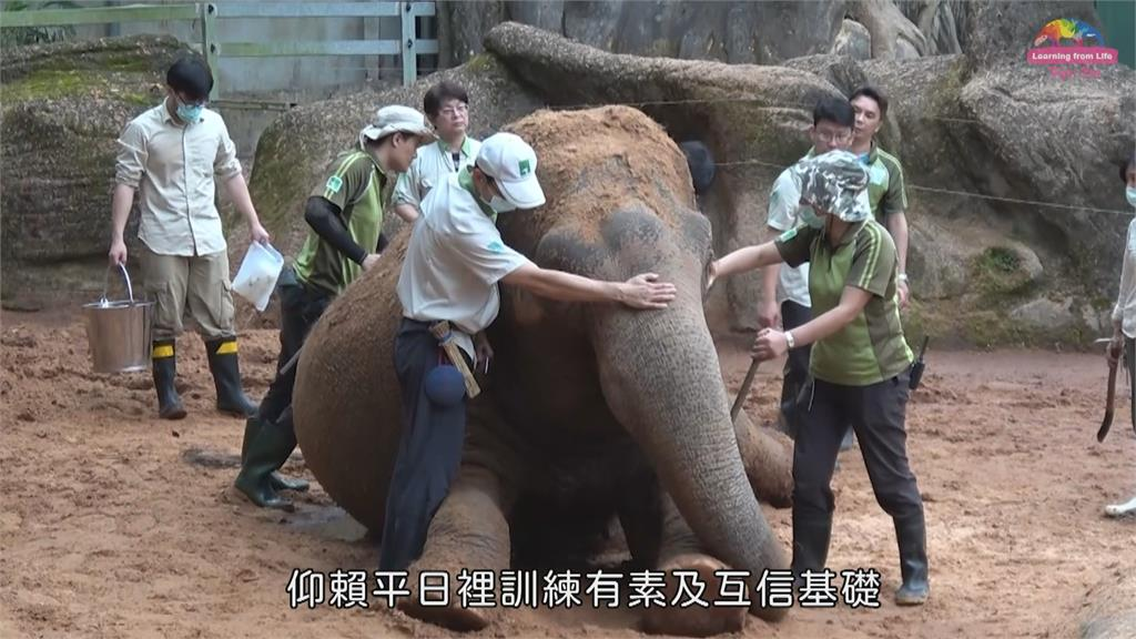 北市39歲亞洲象「友愷」身體不適 食欲不振、脫水 緊急抽血送驗