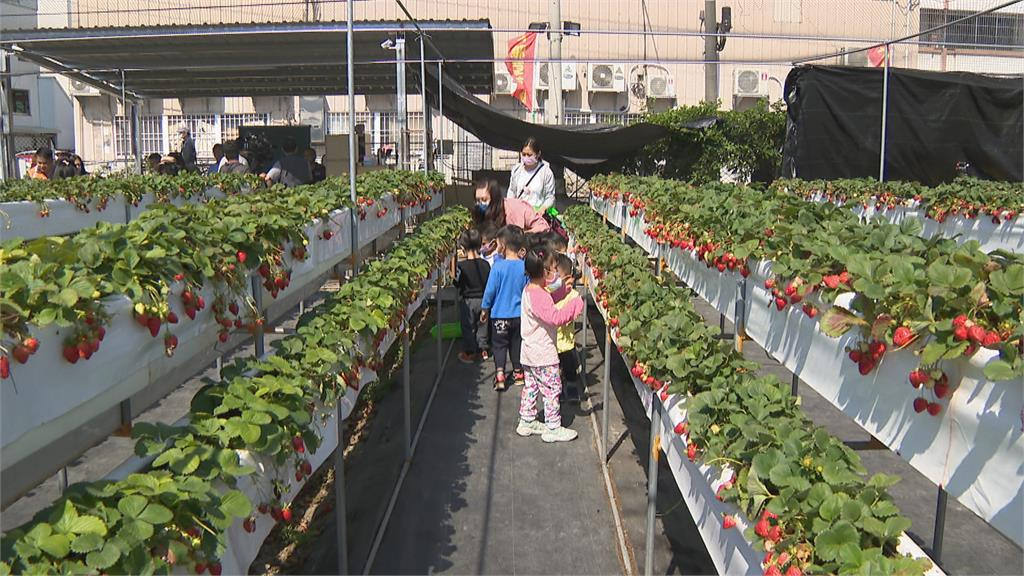 紅通通草莓生長 水份需求大 園方節水不再灌溉 弱勢童免費採草莓